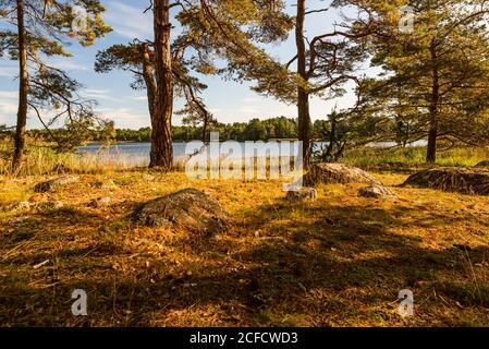 Pinos en la orilla, el humor otoñal en el archipiélago Foto de stock