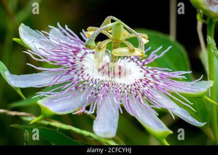 Una pasionflower púrpura, también conocida como flor de maípopa. Raleigh, Carolina del Norte.