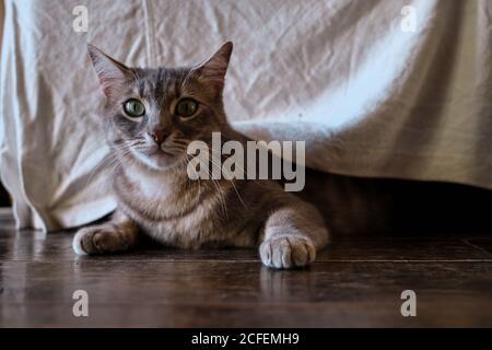 Lindo gato gris con rayas de caballa en la caza y el juego humor con el cuerpo bajo a piso de madera bajo muebles en inicio