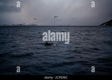 Gran ángulo de solitaria ballena negra nadando en el mar agitado el agua y las aves volando en el cielo nublado gris contra la nieve La costa de la montaña en invierno en Noruega