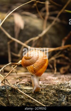Caracol - Cerrar Macro caracol sobre hoja seca en el jardín. Reptil Caracol moviéndose sobre hojas secas. Caracoles grandes de molusco blanco con cáscara de rayas marrones, arrastre Foto de stock