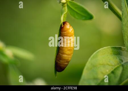 Mariposa de la pupa - la pupa de la mariposa marrón grande que cuelga en el borde de la hoja verde en el bosque aislado en fondo verde. Pupas es una etapa entre el abasto