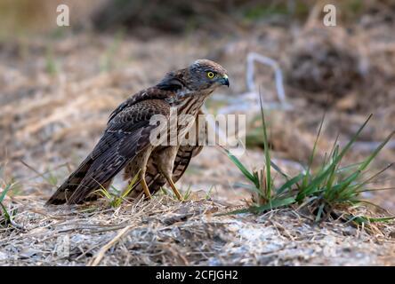 Aves rapaces en la vida silvestre de Pakistán