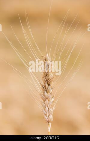 Campo de trigo. Espigas de trigo de oro de cerca. La naturaleza hermosa puesta de sol paisaje. Paisaje rural bajo la luz del sol brillante. Antecedentes de la maduración oídos de mí