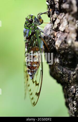 Cicada - el fabricante de música Foto de stock