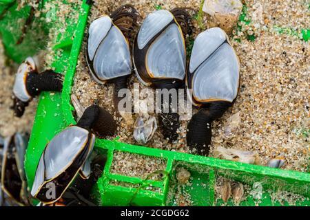 Percebes comunes de ganso (Lepas anatifera)