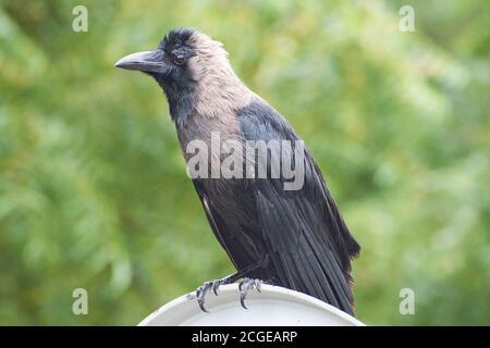Indian Black Carrion Crow (Corvus corone) en busca de comida en el día soleado - Delhi - India.
