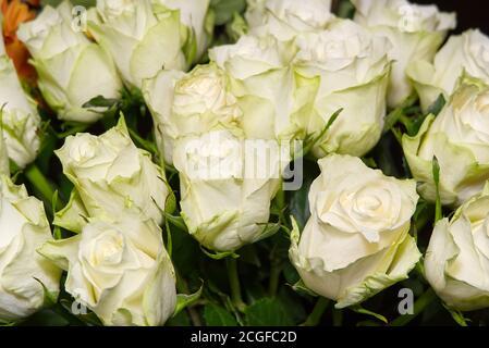 Rosaprima té verde rosa flores. Ramo de rosas de color verde claro. Rosas blancas con un primer plano de tinte verdoso.