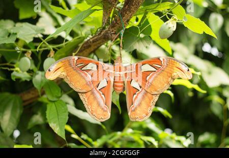 Gran Atlas Moth (Attacus atlas) descansando en un exuberante bosque verde. El Atlas Moth es el más grande del mundo y solo vive una semana.