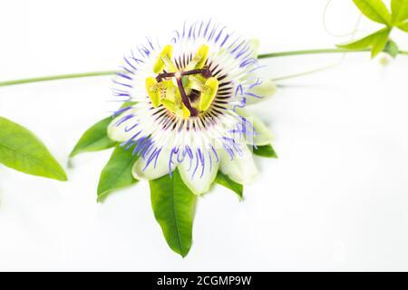 Flor de la pasión (Passiflora encarnata). Las hojas y los tallos son sedantes. La pasionflor púrpura aislada sobre fondo blanco