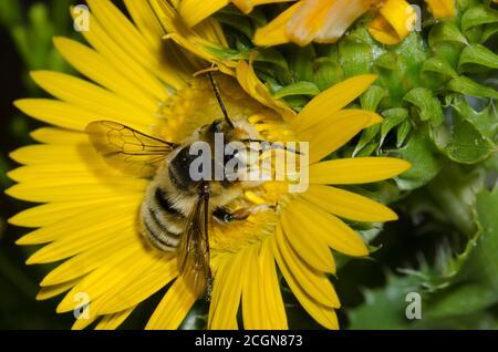 Cortadores de hojas Bee, Megachile sp., forrajeo de oro español, Grindelia ciliata