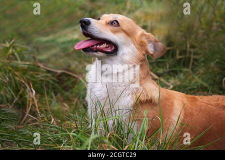 corgi galés rojizo-blanco se encuentra en la hierba verde y mira hacia arriba. El perro se quedó fuera de su lengua