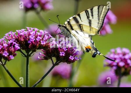 Verbena bonariensis Swallowtail Mariposa sobre flor
