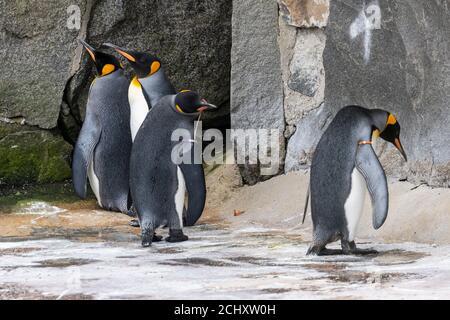 Grupo de licenciatura de pingüinos rey (Aptenodytes patagonicus) en gabinete de pingüinos en el Zoo de Edimburgo, Escocia, Reino Unido