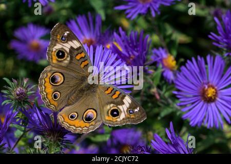 Junonia coenia, conocido como el común buckeye buckeye en Nueva Inglaterra o Aster. Es en la familia Nymphalidae.