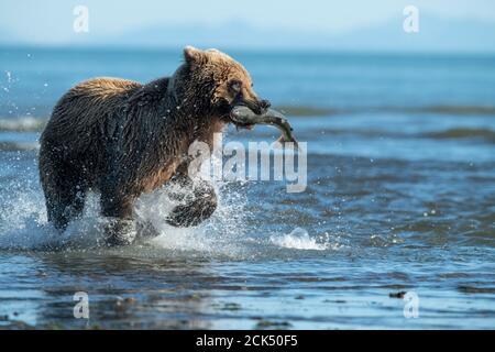 Oso marrón costero de Alaska, Parque Nacional del Lago Clark