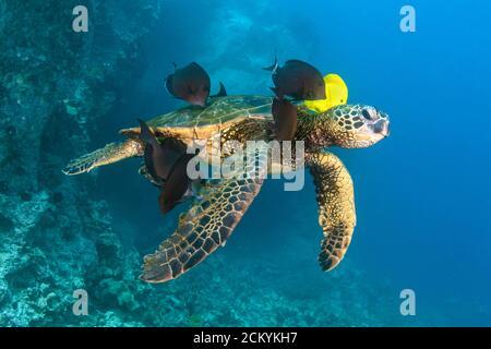 Tortuga de Mar Verde, Chelonia mydas, siendo limpiada por tang amarillo, Zebrasoma flavescens, y pez surgeonero azul, Acanthurus nigroris, Kona Coast, Big I
