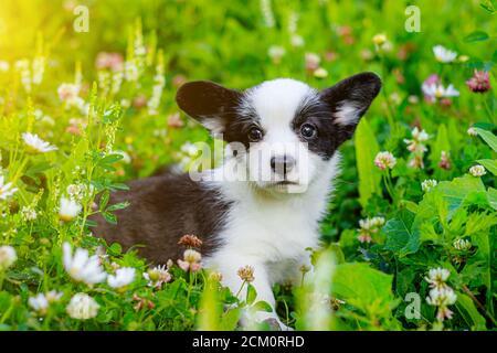 El perro es un cachorro de Corgi en la hierba. El cachorro se sienta en la hierba y mira la cámara. Una mascota. Hermoso y lindo perro. El concepto de un perro de foto para