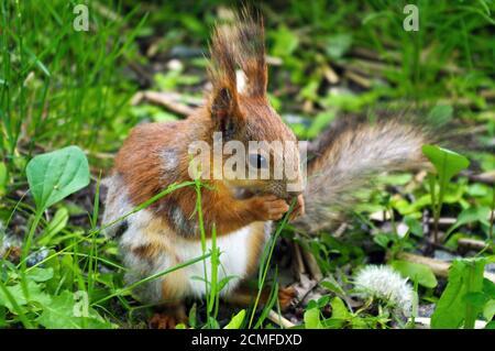 Cierre de una ardilla roja marrón comiendo nuez durante sentado en el terreno verde