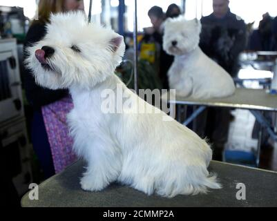 A pair of West Highland White Terriers sit on their grooming tables before they compete at the 137th Westminster Kennel Club Dog Show in New York, February 12, 2013. More than 2,700 prized dogs will be on display at the annual canine competition. Two new breeds, the Russell terrier and the Treeing Walker coonhound, will be introduced in the contest.  REUTERS/Carlo Allegri  (UNITED STATES - Tags: ANIMALS SOCIETY) Foto de stock