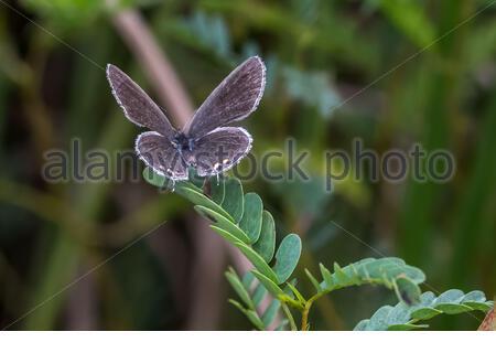Mariposa de cola oriental azul (everes comyntas) Foto de stock