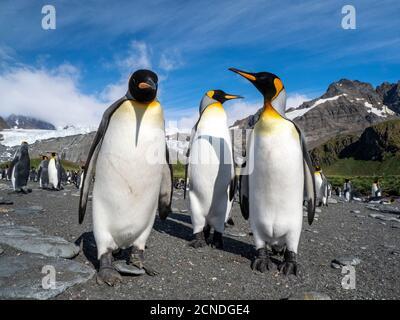 Pingüinos de rey (Aptenodytes patagonicus), en colonia de cría en Gold Harbor, Georgia del Sur, Regiones polares