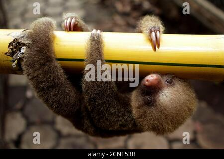 A Linnaeus two-toed sloth (Choloepus didactylus) is seen at a zoological park in Managua June 27, 2011. Nicaragua is hosting the first regional workshop of the Convention on International Trade in Endangered Species of Wild Fauna and Flora. REUTERS/Oswaldo Rivas (NICARAGUA - Tags: ANIMALS ENVIRONMENT SOCIETY IMAGES OF THE DAY)