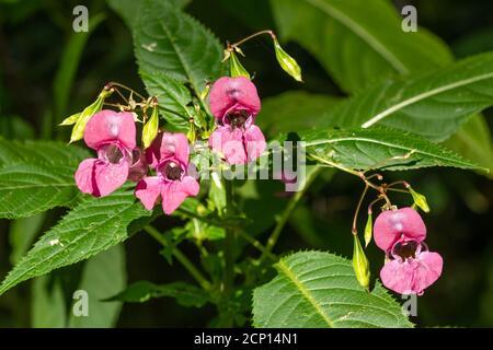 Himalayan balsam (Impatiens glandulifera) flores, una planta invasora o especies de la maleza, Reino Unido