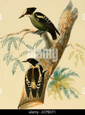 . Ilustraciones de ornitología India: Contiene cincuenta figuras de especies nuevas, no figuradas e interesantes de aves, principalmente del sur de la India. Minima de Tickell, y DiccBum Tickellice olim de Blyth; de los cuales, sin embargo, recientemente he obtenido especímenes de Canara. Mis Shikarees llaman a este pájaro littlebird chitloo jitta, un nombre que también se aplican a ese curioso pájaro el ParisoomaVireoides de mi Cat 133; la Fringilla Agilis de Tickell, y Pipra squalida ofBurton, ahora convertido en un nuevo género, Piprisoma,* por el Sr. Blyth, y colocado en el grupo Dicceum por él; confirmando así la opinión de su