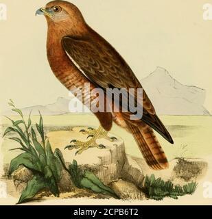 . Ilustraciones de ornitología India: Contiene cincuenta figuras de especies nuevas, no figuradas e interesantes de aves, principalmente del sur de la India. Este pájaro, o del B. Zeylankvs, fue confundido con el de Nyciiornis Alherivni por el descubridor de ese pájaro, como se relaciona en Jardine y Selbys III 2 ILUSTRACIONES DE ORNITHOLOGT INDIO. pi. ORN. 58; porque se describe como exactamente la llamada de un Bucco, mientras que la de los Nyctiornis es un silbato rudo. También he escuchado la llamada del Bucco por la luna ocasionalmente, pero nunca la de los Nyctiornis. Añado una descripción del Verde