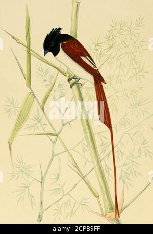 . Ilustraciones de ornitología India : contiene cincuenta figuras de especies nuevas, no figuradas e interesantes de aves, principalmente del sur de la India. D que pone sus huevos sobre el suelo en un tuft de hierba. Está lejos de ser un biid poco común, y la mayoría de los Sportsmensi después de snipe, florikin, o codorniz deben haber tirado cientos de ellos. La EIS- Ilustraciones de la Ornitología India; nombre dustani significa Grass Warbler, el -n-ord Phootkee, o Pitpitmittee, siendo apíDlicd innis-criminately a todos los pequeños PrinicB y Syhiw, en este caso sin embargo con una denominación específica indicativa de