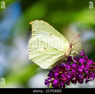 Brimstone Butterfly sobre las flores de un arbusto buddleia