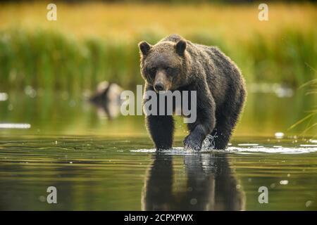 Oso Grizzly (Ursus arctos)- Mamá y yearling cachorros de caza de salmón soceye desove en un río de salmón, Chilcolin Wilderness, BC Interior, Canadá