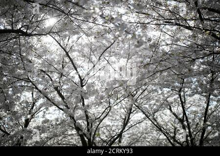 Un cerezo en flor se muestra durante un día de primavera en Copenhague, Dinamarca 29 de abril de 2018. REUTERS/Benoit Tessier