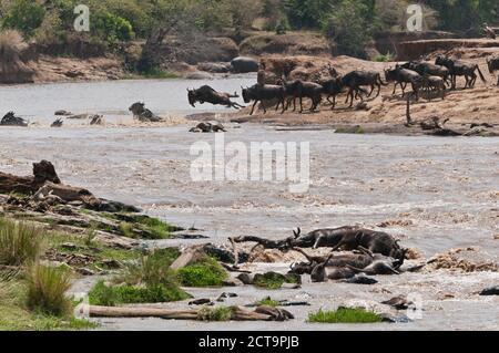 África, Kenia, Reserva Nacional Maasai Mara, Wildebeest Azul o común (Connochaetes taurinus), durante la migración, más marchita cruzando el río Mara, muchos muertos marchitosos al frente