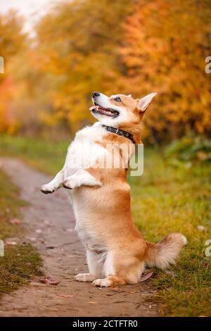 El perro de pembroke corgi galés ejecuta el comando para servir en su patas traseras