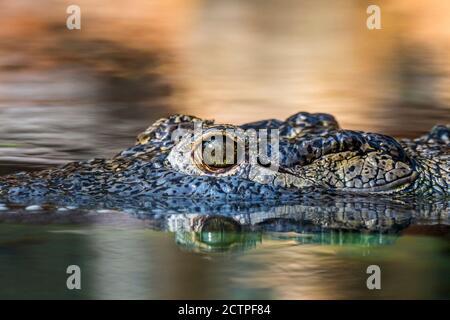 Cocodrilo del Nilo (Crocodylus niloticus), primer plano de la cabeza mostrando el ojo con la pupila verticalmente rajada mientras flotando en el agua del lago, nativa de África