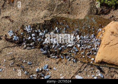 Percebes comunes de ganso (Lepas anatifera) sobre fibra de vidrio lavada en una playa