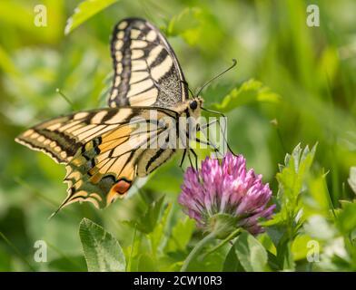 Mariposa de cola de cisne en el néctar de succión de flor de trébol rosa
