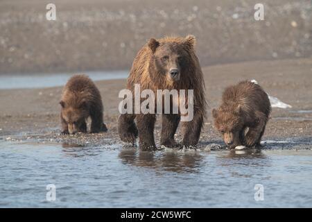 Osos pardos costeros de Alaska