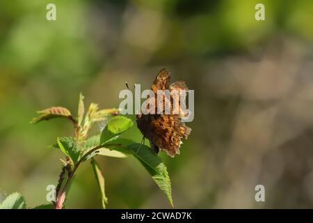 Mariposa aislada de la especie de coma (Polygonia c-album) de la familia Nymphalidae, fotografiada con lente macro sobre una hoja de una planta silvestre.