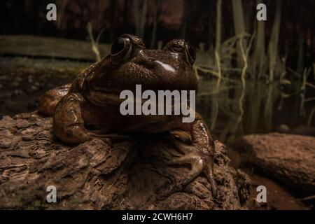 Una gran rana toro (Lithobates catesbeianus/Rana catesbeiana) en un pantano oscuro por la noche.