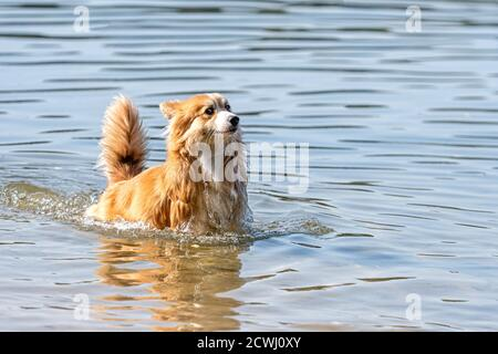 Welsh Corgi Pembroke perro esponjoso jugando en el agua la playa