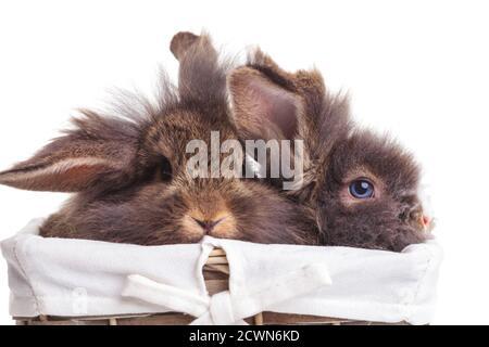 Dos lindos conejitos de conejo cabeza de león sentados dentro de una canasta de madera.