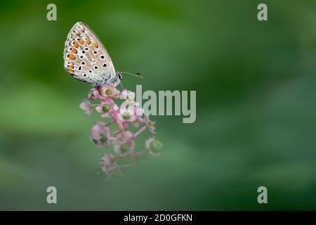 Amanecer con la mariposa azul común (Polyommatus icarus)