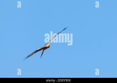 Red Kite, Milvus milvus, en vuelo contra el cielo azul, Dumfries & Galloway, Escocia