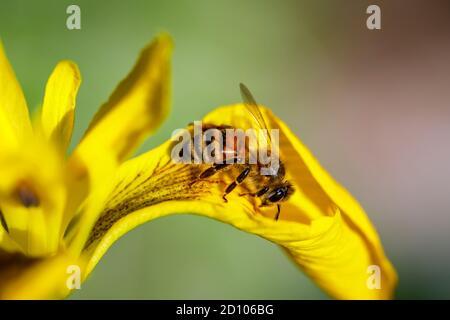 Miel abeja (trabajador) Apis mellifera en el húmedo amante Iris pseudacorus, bandera de agua, bandera amarilla o iris amarillo, en flor a finales de la primavera / principios del verano