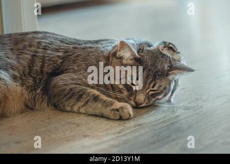 un pequeño gatito gris duerme con un hámster. Un pequeño gato duerme y un hámster corre sobre él. Concepto de amistad. Enfoque suave.