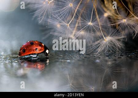 Ladybug rojo con reflexión de diente de león en el espejo Foto de stock
