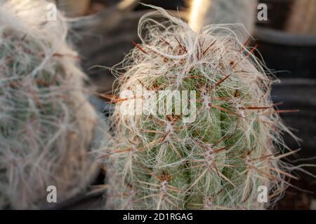 El cactus de hombre viejo (cephalocereus senilis) crece velloso en un invernadero de cactus en Arizona, EE.UU Foto de stock